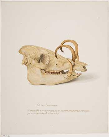 Pierre François Ledoulx, Skull of babirusa. Bruges, Bruges Museums