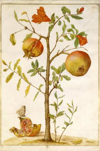 Maria Sibylla Merian, Pomegranates. Paris, Bibliothèque Nationale de France
