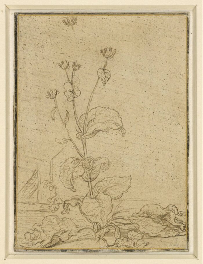 Fig. 7: Hendrick Goltzius (1558-1617), Study of a Tobacco Plant , silverpoint on yellow-prepared vellum, c.1585, Boijmans Van Beuningen, Rotterdam, inv. no. H 2.