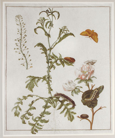 Maria Sibylla Merian (1647-1717), Plants and Insects of Suriname Kunstkamera, St. Petersburg