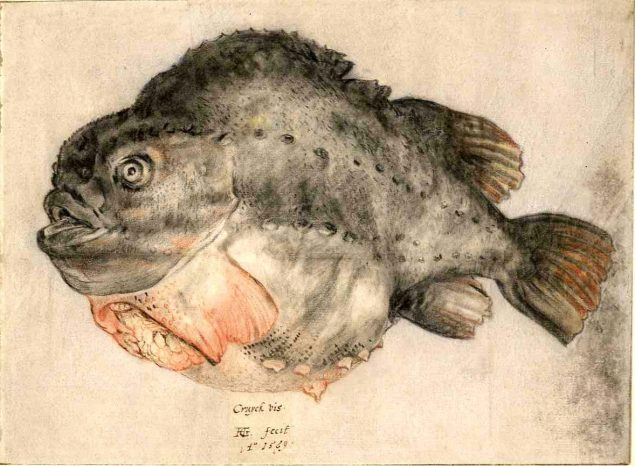 Hendrick Goltzius, Cruck vis, drawing in black and red chalk and pen, 1569 Royal Library of Belgium, Brussels