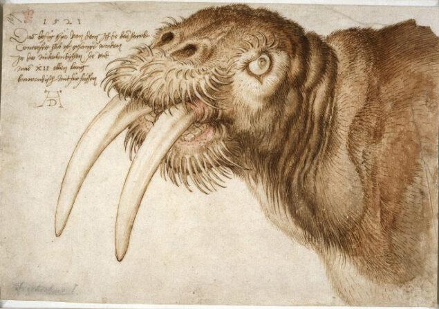 Albrecht Dürer, <em>Head of a walrus</em>, pen, watercolor, 1520, British Museum, London